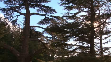 A-grove-of-cedar-trees-of-Lebanon