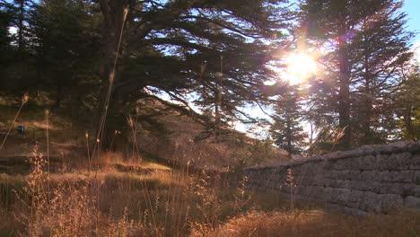 The-sun-shines-through-a-grove-of-cedar-trees-of-Lebanon