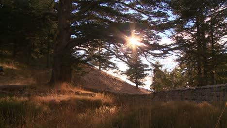 The-sun-shines-through-a-grove-of-cedar-trees-of-Lebanon-1