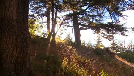 Tilt-up-as-the-sun-shines-through-a-grove-of-cedar-trees-of-Lebanon