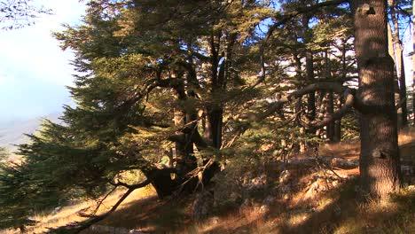 The-sun-shines-through-a-grove-of-cedar-trees-of-Lebanon-2