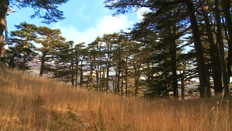 A-cedar-branch-hangs-in-front-of-the-beautiful-mountains-of-Lebanon-1