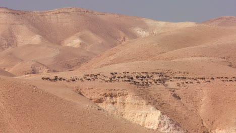 Sheep-and-goats-are-led-in-the-distance-by-a-Bedouin-shepherd-in-Israel-or-Jordan