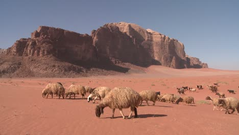 Sheep-and-goats-are-led-in-the-distance-by-a-Bedouin-shepherd-in-Wadi-Rum-Jordan