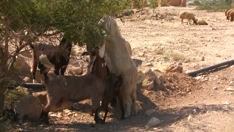 Goats-and-sheep-eat-vegetation-in-the-dry-deserts-of-the-Holy-land