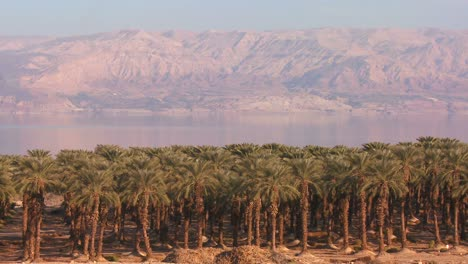 Date-grove-palm-trees-grow-along-the-shore-of-the-Dead-Sea-Israel