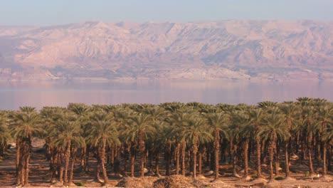 Dattelhain-Palmen-Wachsen-Entlang-Der-Küste-Des-Toten-Meeres-Israel