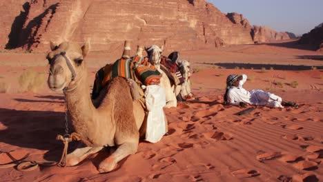 A-Bedouin-rests-with-his-camels-in-the-Saudi-desert-of-Wadi-Rum-Jordan