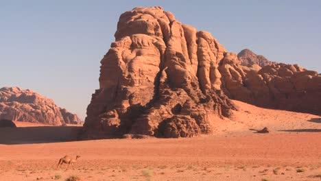 A-camel-wanders-in-the-Saudi-desert-in-Wadi-Rum-Jordan