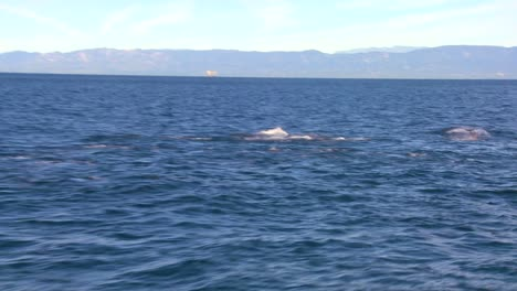 A-pod-of-dolphins-frolic-off-the-coast-of-Santa-Barbara-California-as-seen-from-a-boat-nearby-2