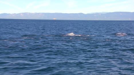 Una-Manada-De-Delfines-Se-Divierten-En-La-Costa-De-Santa-Bárbara-California-Como-Se-Ve-Desde-Un-Barco-Cercano-2