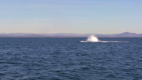 A-whale-breaches-and-makes-a-big-splash-off-the-coast-of-Santa-Barbara-California