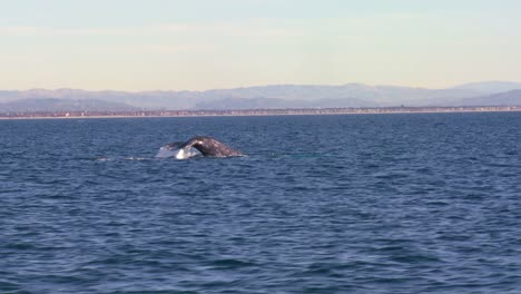 A-whale-blows-through-its-blow-hole-dives-and-splashes-with-its-tail-off-the-coast-of-Santa-Barbara-California