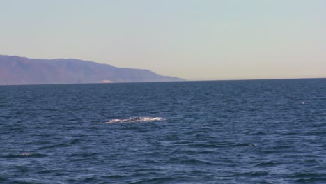 A-whale-dives-and-splashes-with-its-tail-off-the-coast-of-Santa-Barbara-California-1
