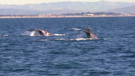 Two-whales-breach-the-surface-and-splash-with-their-tails-off-the-coast-of-Santa-Barbara-California