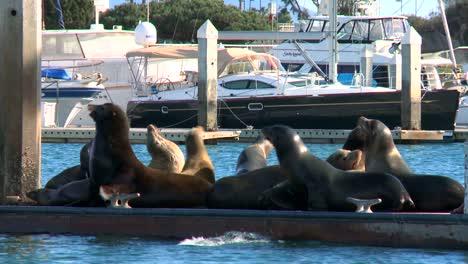 Sea-lions-lounge-splash-and-honk-on-a-dock-in-Santa-Barbara-Harbor