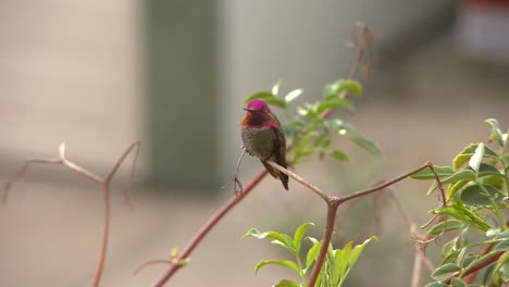 A-red-headed-hummingbird-sits-on-a-tree-branch
