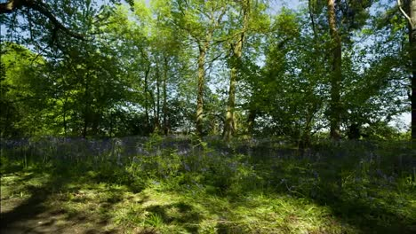 Bluebells-Forest-Raw-00