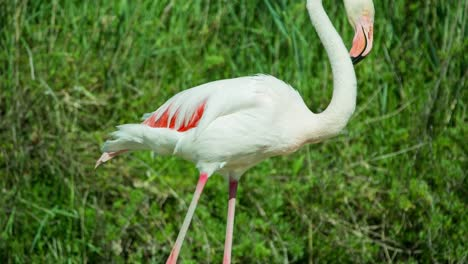 Carmargue-Flamingos-30