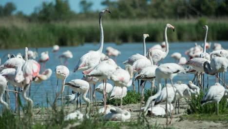 Carmargue-Flamingos-37