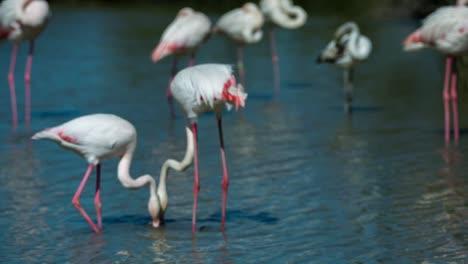 Carmargue-Flamingos-48