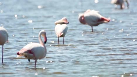 Carmargue-Flamingos-51