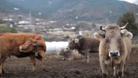 Cows-00