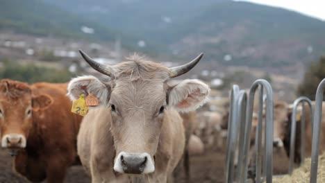 Cows-01