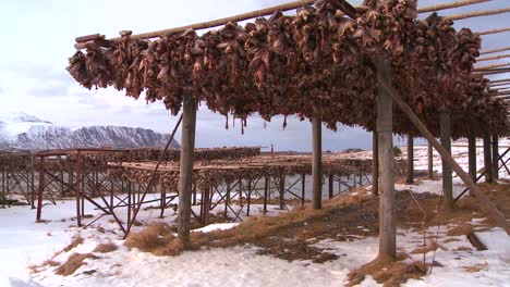 Fish-heads-are-hung-out-to-dry-on-wooden-racks-in-the-Lofoten-Islands-Norway