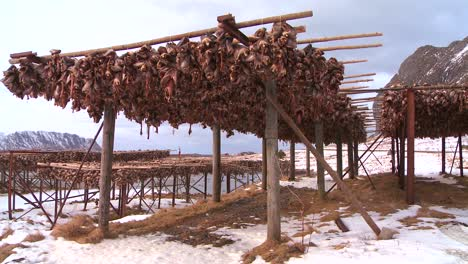 Fish-are-hung-out-to-dry-on-wooden-racks-in-the-Lofoten-Islands-Norway