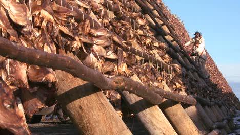 Los-Pescadores-Cuelgan-El-Pescado-A-Secar-En-Bastidores-De-Madera-Piramidales-En-Las-Islas-Lofoten-Noruega-4