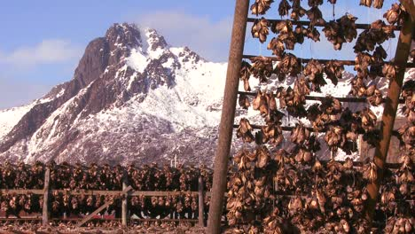 Fish-are-hung-out-to-dry-on-pyramid-wooden-racks-with-high-mountains-background-in-the-Lofoten-Islands-Norway