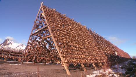 Fish-are-hung-out-to-dry-on-pyramid-wooden-racks-with-high-mountains-background-in-the-Lofoten-Islands-Norway-1
