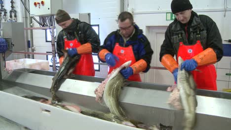 Men-workcutting-and-cleaning-fish-on-an-assembly-line-at-a-fish-processing-factory