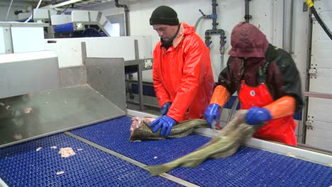 Men-work-cutting-and-cleaning-fish-on-an-assembly-line-at-a-fish-processing-factory