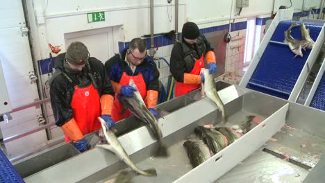 Men-work-cutting-and-cleaning-fish-on-an-assembly-line-at-a-fish-processing-factory-1