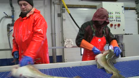 Men-work-cutting-and-cleaning-fish-on-an-assembly-line-at-a-fish-processing-factory-3