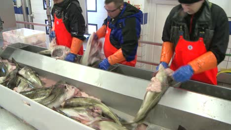Men-work-cutting-and-cleaning-fish-on-an-assembly-line-at-a-fish-processing-factory-4