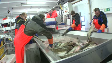 Men-work-cutting-and-cleaning-fish-on-an-assembly-line-at-a-fish-processing-factory-5