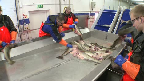 Men-work-cutting-and-cleaning-fish-on-an-assembly-line-at-a-fish-processing-factory-6
