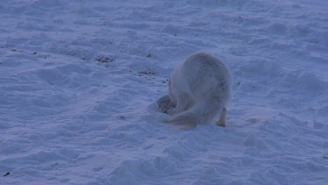 An-Arctic-fox-runs-across-the-snow