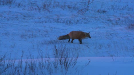 An-Arctic-red-fox-hunts-in-the-snow