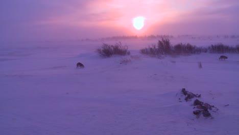 Perros-Husky-Deambulan-Por-El-ártico-Durante-Una-Intensa-Tormenta-De-Nieve