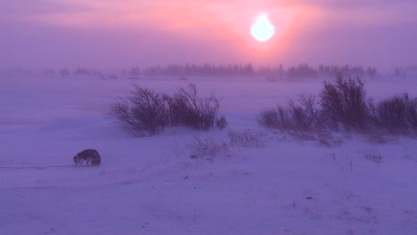 Husky-dogs-wander-in-the-Arctic-during-an-intense-blizzard-1