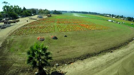 An-aerial-over-a-pumpkin-patch