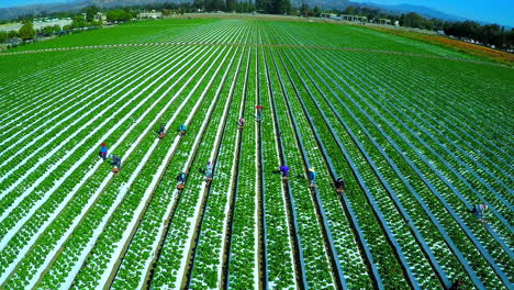 Aerial-shot-over-migrant-immigrant-farm-workers-working-in-the-strawberry-fields-of-California-2