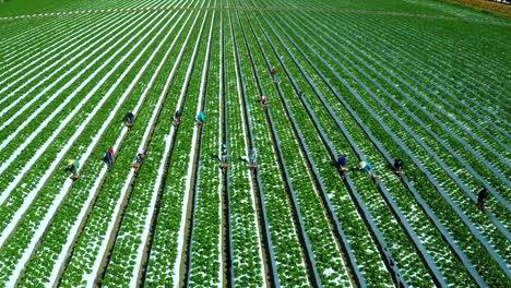 Toma-Aérea-Sobre-Trabajadores-Agrícolas-Inmigrantes-Que-Trabajan-En-Los-Campos-De-Fresas-De-California-4
