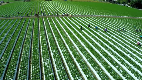Aerial-shot-over-migrant-immigrant-farm-workers-working-in-the-strawberry-fields-of-California-6