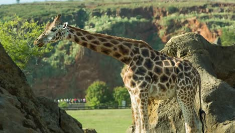Giraffe-03