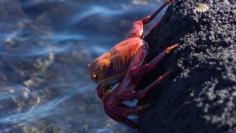 A-bright-red-Sally-Lightfoot-crab-clings-to-a-rock-on-a-Galapagos-shore